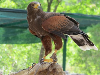 Viel gelernt über Uhus, Habichte und Falken / Learned a lot about eagle owls, hawks and falcons