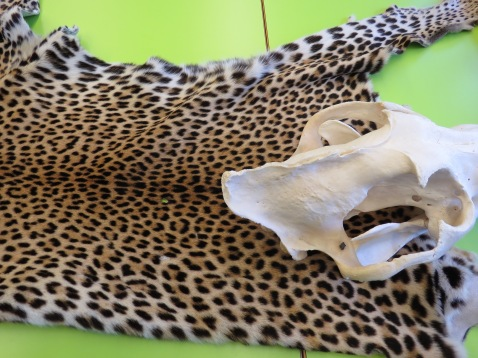 Leopardenfell / Leopard fur