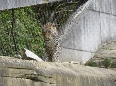Der männliche Leopard / The male leopard