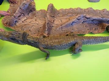 Schlangenleder und kleines Krokodil / Snake leather and small crocodile
