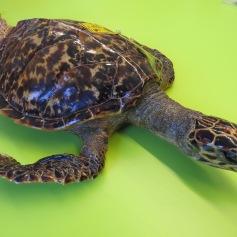 Wasserschildkröte / Water turtle