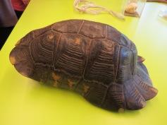Landschildkrötenpanzer / Land turtle shell