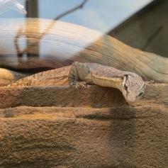 Irgend eine Echsenart / Some kind of lizard kind