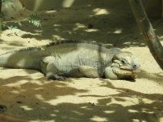 Leguan / Iguana