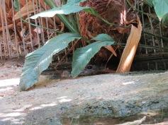 Verstecktes Krokodil / Hidden crocodile
