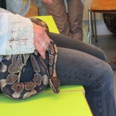 Eine richtige Königspython / A real king python