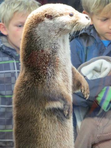 Der Fischotter, nicht zu verwechseln mit dem... / The otter, not to be mistaken for...