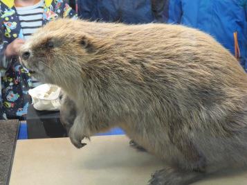 ...Biber / ...the beaver