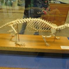 Fischotterskelett / Otter skeleton