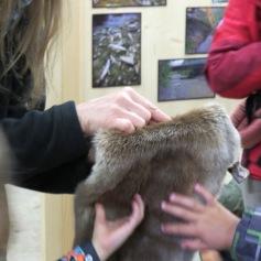 Fischotterfell / Otter fur