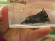 Fliegenlarve mit Schneckenhaus / Fly larvae with snail house