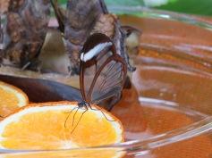 Durchsichtige Flügel! / Transparent wings!