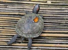 Ein Schmetterling auf der Schildkröte / A butterfly on a turtle