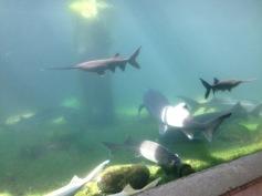 Echte Störe und andere Fische / Actual sturgeons and other fish