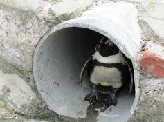 Nachdem Schnüseli über Pinguine gelernt hatte, sah sie nun wilde Pinguine / After learning about penguins, Honeybunny now saw wild penguins