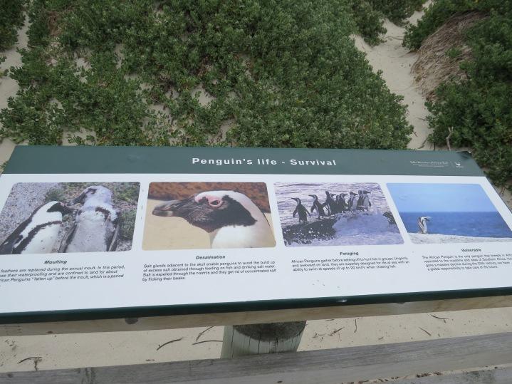 Der afrikanische Pinguin am Kap der Guten Hoffnung / The African Penguin at the Cape of Good Hope