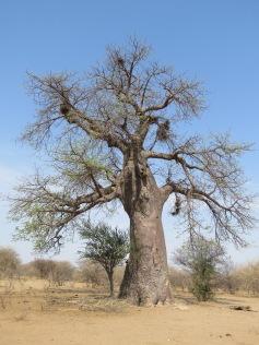 Der Baobab-Baum / The Baobab tree