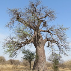 Der Baobab-Baum / The Baobab tree