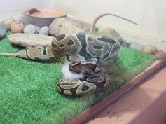 Zuschauen wie eine Python eine Ratte würgt und danach verschlingt / Watching how a python constricts and then eats a rat
